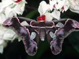 Atlas Moth  Attacus Atlas  Indonesia