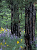 Balsam Root and Lupines Among Pacific Ponderosa Pine  Rowena  Oregon  USA