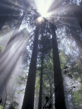 God Beams in Fog  Giant Redwoods  Del Norte Coast State Park  California  USA