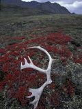 Antler Amid Alpine Bearberry  Brooks Range  Arctic National Wildlife Refuge  Alaska  USA