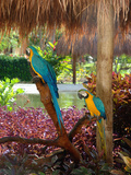 Two Blue and Gold Macaws Perched Under Thatched Roof