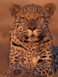 Leopard Relaxing at Animal Rehabilitation Farm  Namibia
