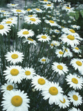 Field of Yellow and White Daisies
