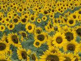 Field of Sunflowers  Fayette County  Kentucky  USA