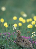 Willow Ptarmigan Female Among Arctic Poppies  Denali National Park  Alaska  USA