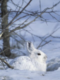 Snowshoe Hare  Arctic National Wildlife Refuge  Alaska  USA