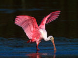 Roseate Spoonbill  Ding Darling National Wildlife Refuge  Sanibel Island  Florida  USA