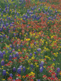 Paintbrush  Bluebonnets  and Bladderpod  Texas  USA
