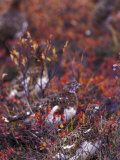 Will Ptarmigan Forage for Blueberries  Denali National Park  Alaska  USA