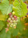 Beaujolais White Grapes in Autumn  Burgundy  France