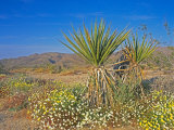 Desert Pincushion and Dandelion  Joshua Tree National Park  California  USA