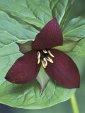 Purple Trillium  Port Huron  Michigan  USA