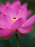Perry's Water Garden  Lotus Blossom and Bee  Franklin  North Carolina  USA
