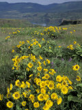 Balsam root meadow on Rowena Plateau  Columbia River Gorge  Oregon  USA