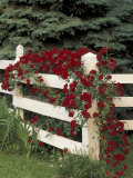 Roses on White Wooden Fence  Louisville  Kentucky  USA