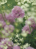 Chives and Carraway  Louisville  Kentucky  USA