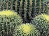 Pattern in Cactus