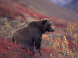 Female Grizzly Bear in Alpine Tundra  Denali National Park  Alaska  USA