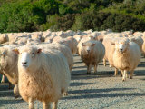 Sheep Herd  New Zealand