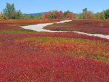Blueberry Barrens  Maine  USA