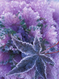 Frost-covered Shrubs and Maple Leaf  Washington  USA