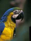Endangered Blue and Gold Macaw  Costa Rica