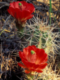 Claret Cup Cactus  Monument Canyon  Colorado National Monument  Colorado  USA