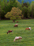 Horses Grazing in Meadow  Cades Cove  Great Smoky Mountains National Park  Tennessee  USA