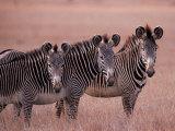 Grevy's Zebra  Masai Mara  Kenya