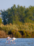 Greater Flamingos in Marsh  Camargue  France