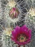 Flowering Hedgehog Cactus  Saguaro National Park  Arizona  USA