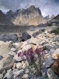 Dwarf Fireweed and Trango  Baltoro Muztagh Range  Pakistan