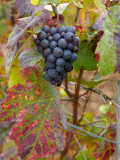 Beaujolais Red Grapes in Autumn  Burgundy  France