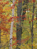Fall in a Mixed Deciduous Forest in Litchfield Hills  Kent  Connecticut  USA