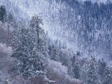 Snowy Trees on Mountain Slope  Morton Overlook  Great Smoky Mountains National Park  Tennessee  USA
