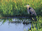 Great Blue Heron in Taylor Slough  Everglades  Florida  USA