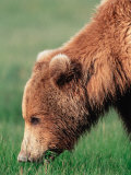 Brown Bear in Hallo Bay  Alaska  USA