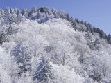 Snow Covered Trees on Mountain Top  Great Smoky Mountains National Park  Tennessee  USA