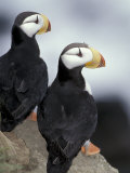 Horned Puffins  St Paul Island  Alaska  USA