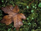 Fallen Oak Leaf