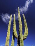 Saguaro Cactus  Catavina Desert National Reserve  Baja del Norte  Mexico
