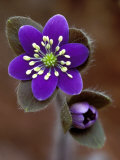 Hepatica and Bud  Lapeer  Michigan  USA