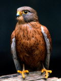 Rock Kestrel Portrait  Cape Town  South Africa