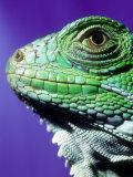 Green Iguana  South America