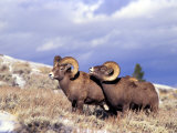 Bighorn Rams on Grassy Slope  Whiskey Mountain  Wyoming  USA