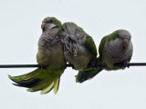 Three Monk Parakeets Brace Themselves against a Stiff Breeze as They Perch on a Wire