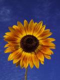Sunflower and Blue Sky  Sammamish  Washington  USA