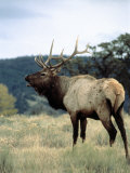 Bull Elk Bugling  Yellowstone National Park  WY