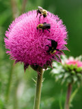 A Trio of Bees Explore a Giant Thistle Bloom on a Farm Near New Castle