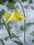 Glacier Lily Growing in Snow  Olympic National Park  Washington  USA